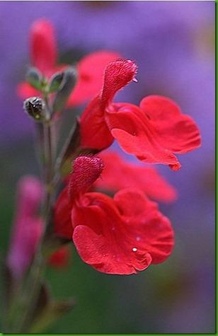 Salvia_roemeriana