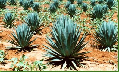 sisal_plant