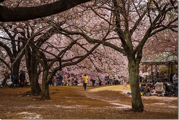Kirsebærtræerne blomstrer i parkerne i Tokyo