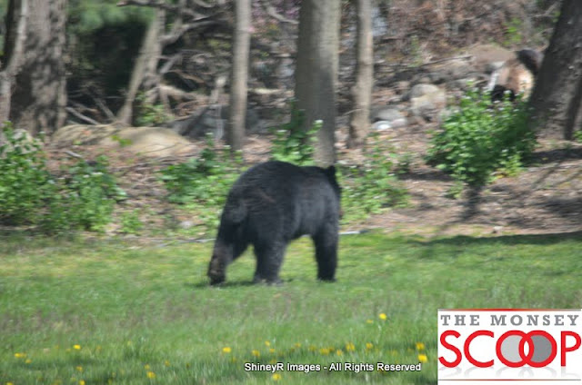 Bear Sighting On Winesap Land In Forshay - DSC_0057.JPG