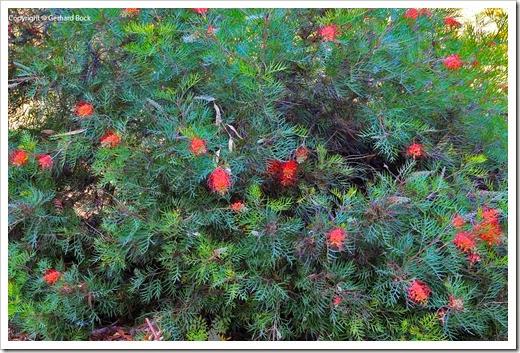 131124_UCD_Arboretum_AustralianCollection_Grevillea-Masons-Hybrid_07