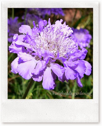 749px-Scabiosa_columbaria_Butterfly_Blue_2