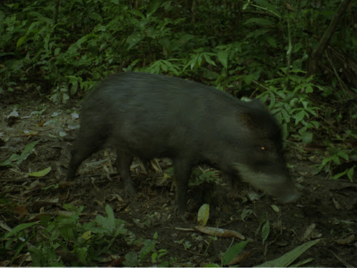 Whitelipped%252520peccary%252520single