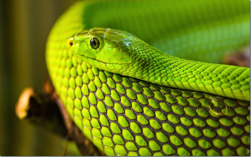 how to tell poisonous snakes from non poisonous
