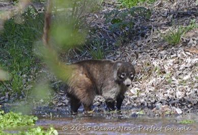 Male Coati