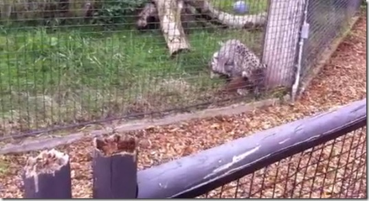 leopard-attacks-squirrel-no