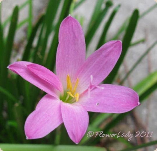 11-09-rain-lily