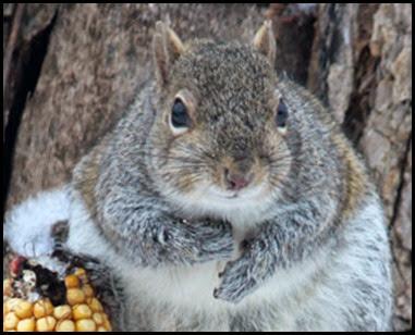 StumpySquirrelCorn