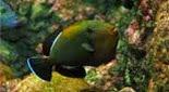 Biodiversité baliste noir