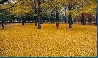 ginko leaves drop one day