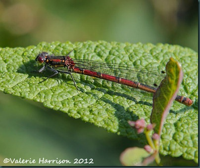 large-red-damselfly-2 (3)