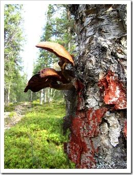 De här kändes mer underliga, det avr liksom vanliga svampar med fot som växte i trädet. Aldrig sett förut.