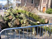 Monumentale Boom Kerkplein gekapt