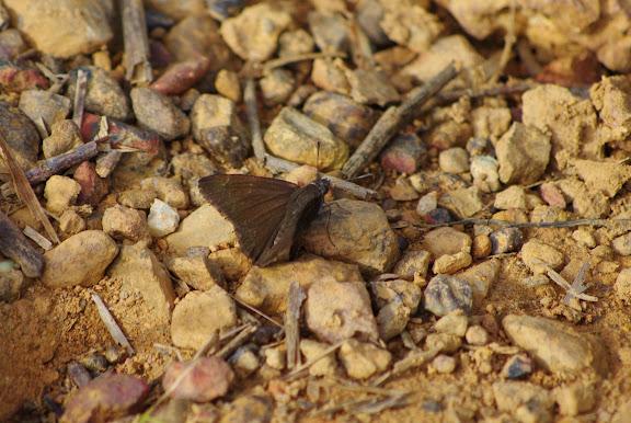 Hesperiidae. Carbets de Coralie (Crique Yaoni), 31 octobre 2012. Photo : J.-M. Gayman