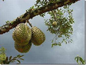 durian_billyinfo.blogspot2