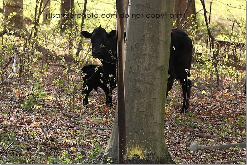 cows-6687