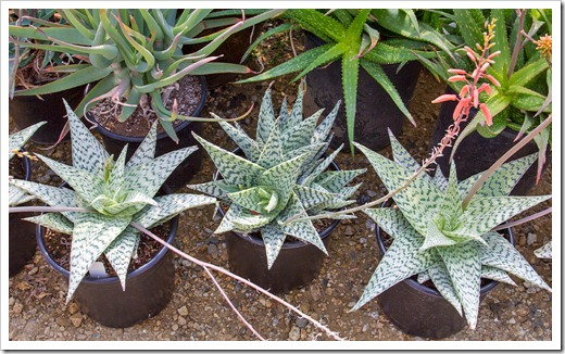 120929_SucculentGardens_Aloe-Delta-Lights_04