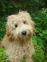 GorgeousDoodles Bentley is a<br /> Australian Labradoodle with a golden fleece coat.