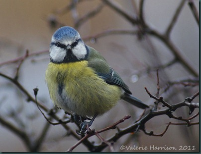 2-bluetit