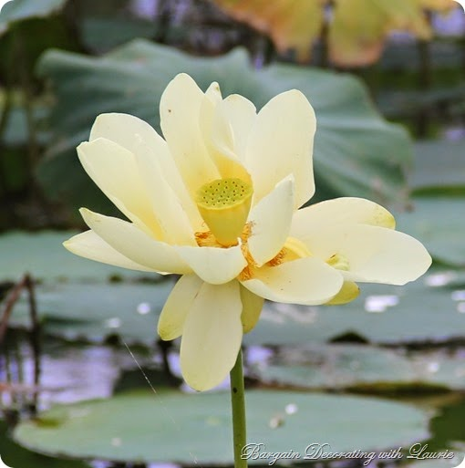 LILLY PADS 4