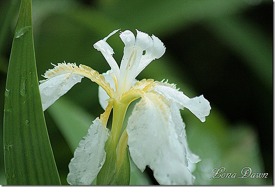 DA_Japanese_WhiteIris2