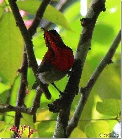 crimson sunbird (2)