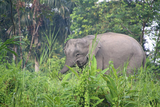 Pygmy elephant, an immature female