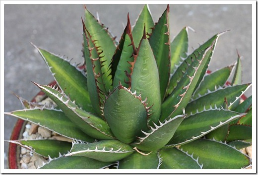 120602_Agave-ghiesbreghtii_08