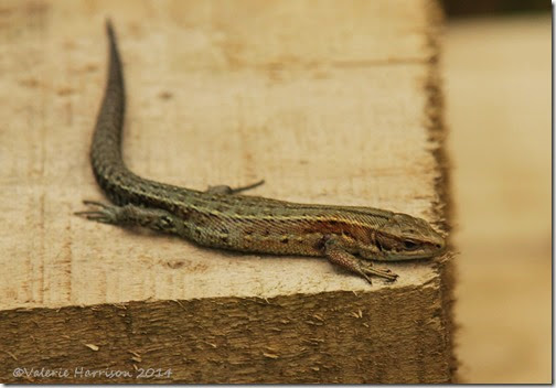 21-common-lizard