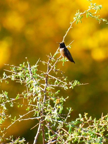 5. BC hummingbird-kab