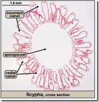 scypha 2