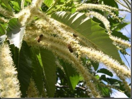 chestnut catkins