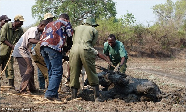 Finally there is some joy as the ropes are removed from the calf elephant after it is pulled clear