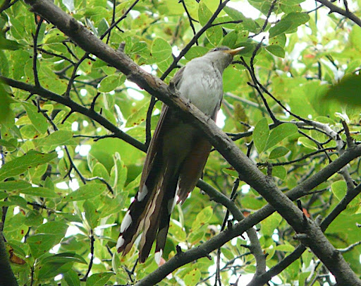 This very curious Yellow-billed Cuckoo was directly above me. Liked the sound of the beep my camera made