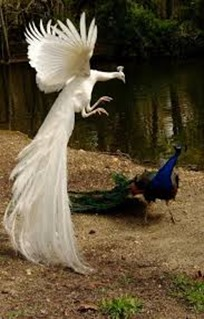 Amazing Pictures of Animals,photo, Nature, exotic, funny, incredibel, Zoo,  Indian Peafowl or Blue Peafowl, (Pavo cristatus), Alex (15)