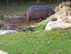 2013.10.26-014 hippopotames