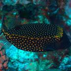 Koffer-Fisch, Komodo