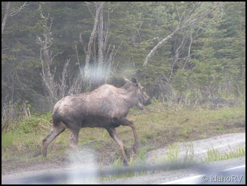 Moose-in-Ninilchik