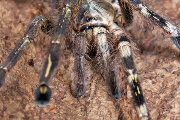 gynandromorph spider 01