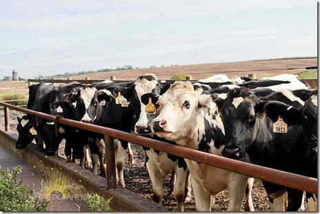 cows-9789