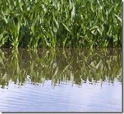 Flooded corn field west of Ashland, Nebraska.  Photo by Craig Chandler / University Communications