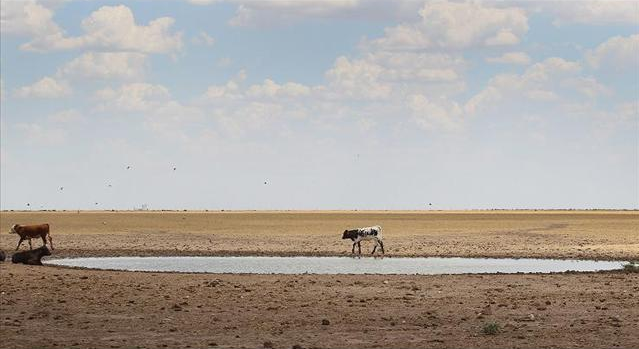 Calves pass a nearly empty watering pond in Texas that has been drained by the extended drought. Getty