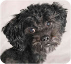Miniature Poodle Bogie, from Chicago, is a little shy but super cuddly and loving. He gets along with other dogs and just wants a home to call his own!
