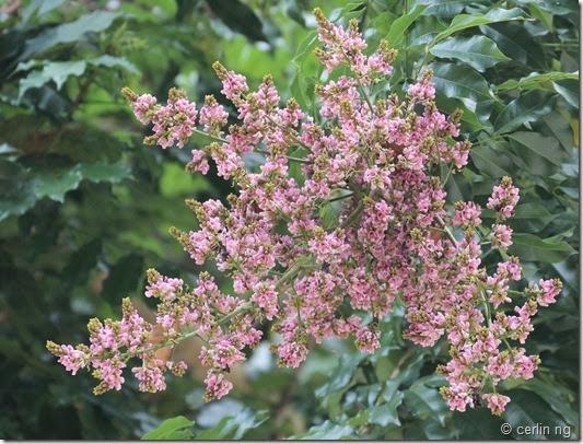 andira inermis flower