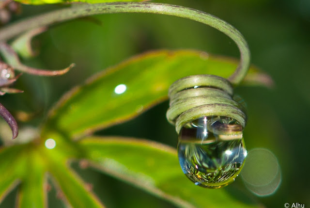Perles de diamants serties dans les volutes de passiflore.jpg