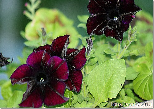 Petunia_Blackberry2