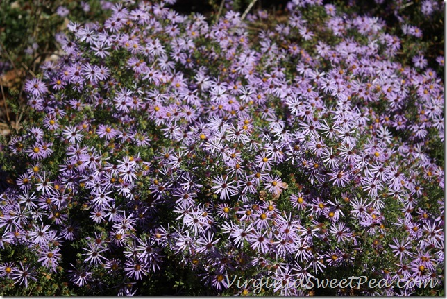 Asters4
