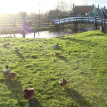 ducks in Zaandam, Noord Holland, Netherlands