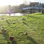 ducks in Zaandam, Noord Holland, Netherlands