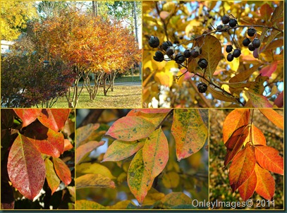 crepe myrtle fall
